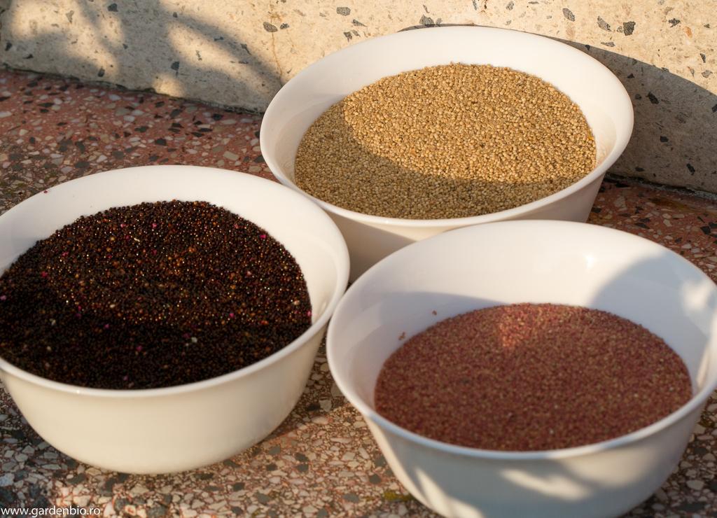 Prima recolta de seminte de amarant