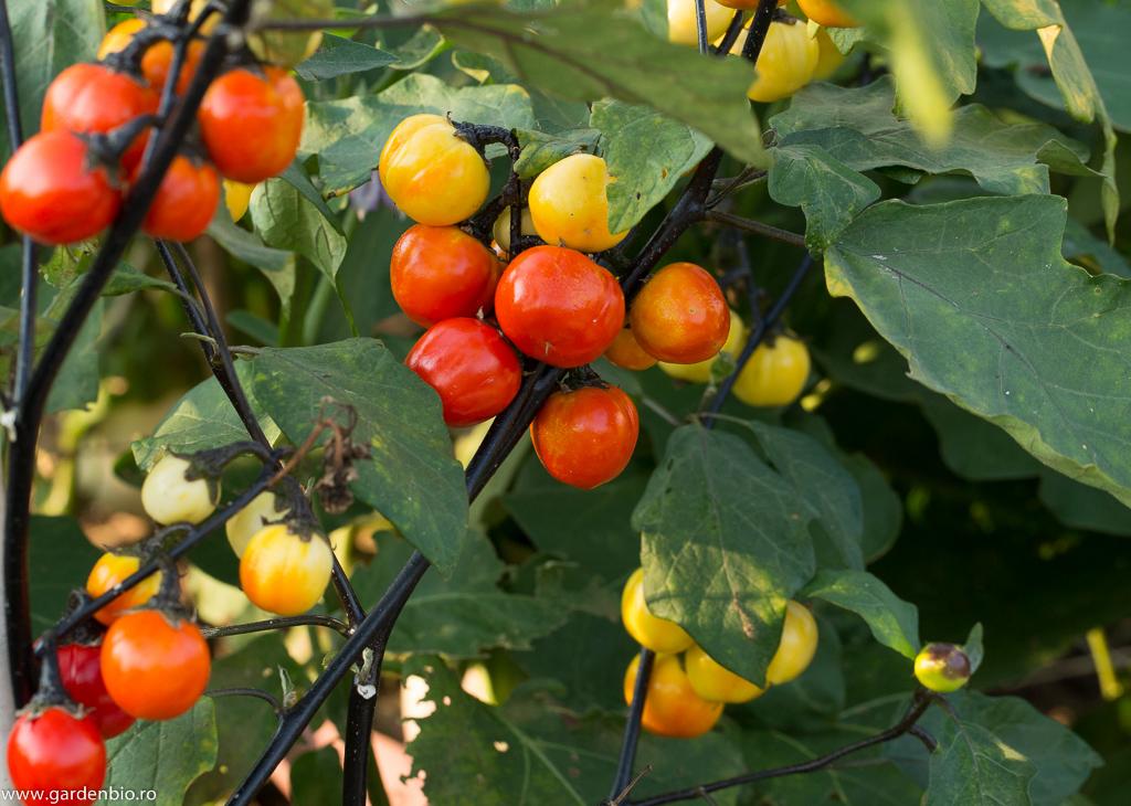 Vinetele Black Steam, plante cu rol decorativ în grădina de legume