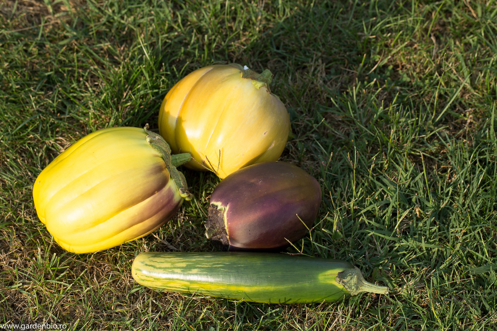 Vinete ajunse la maturitatea recoltării pentru semințe