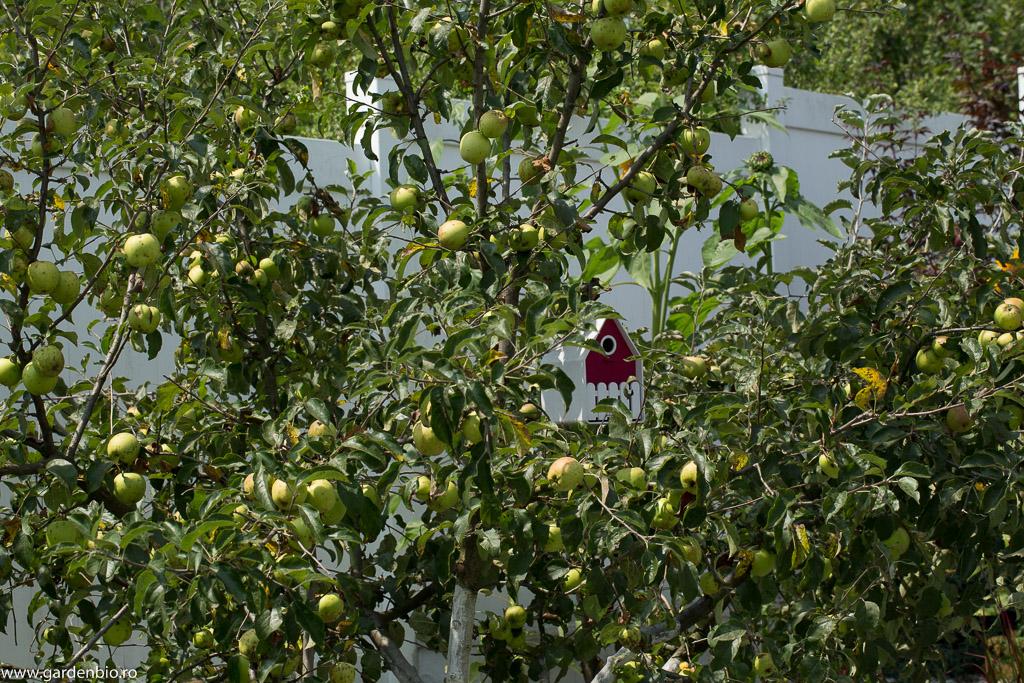 Un măr cu fructe 100% bio, polenizat de albine. O recoltă foarte bună și sănătoasă.