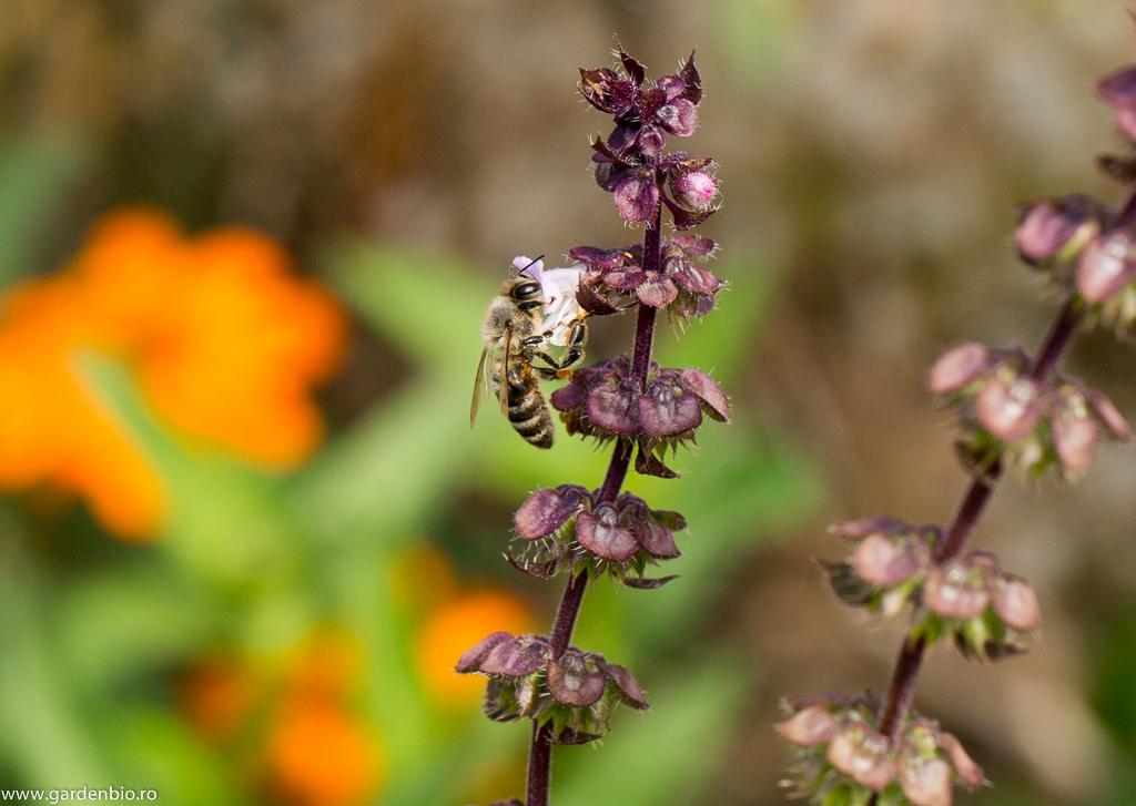 Albină atrasă de polenul florii de busuioc