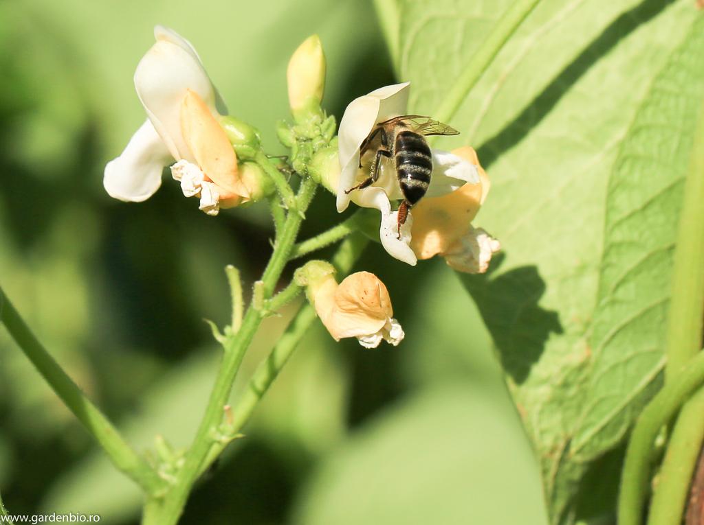 Cu un mic efort albina ajunge la polenul mult râvnit de la florile de fasole
