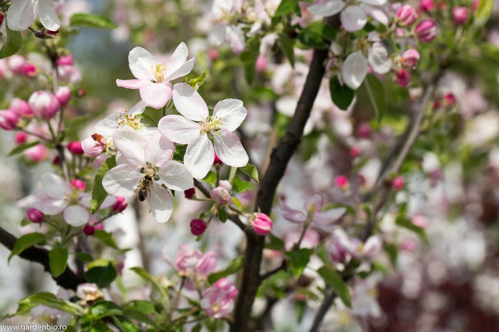 Albină atrasă de florile de măr