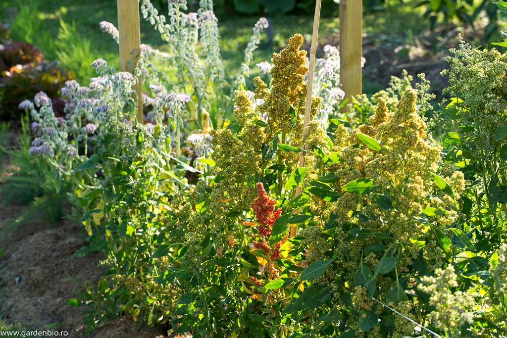 Quinoa și limba mielului