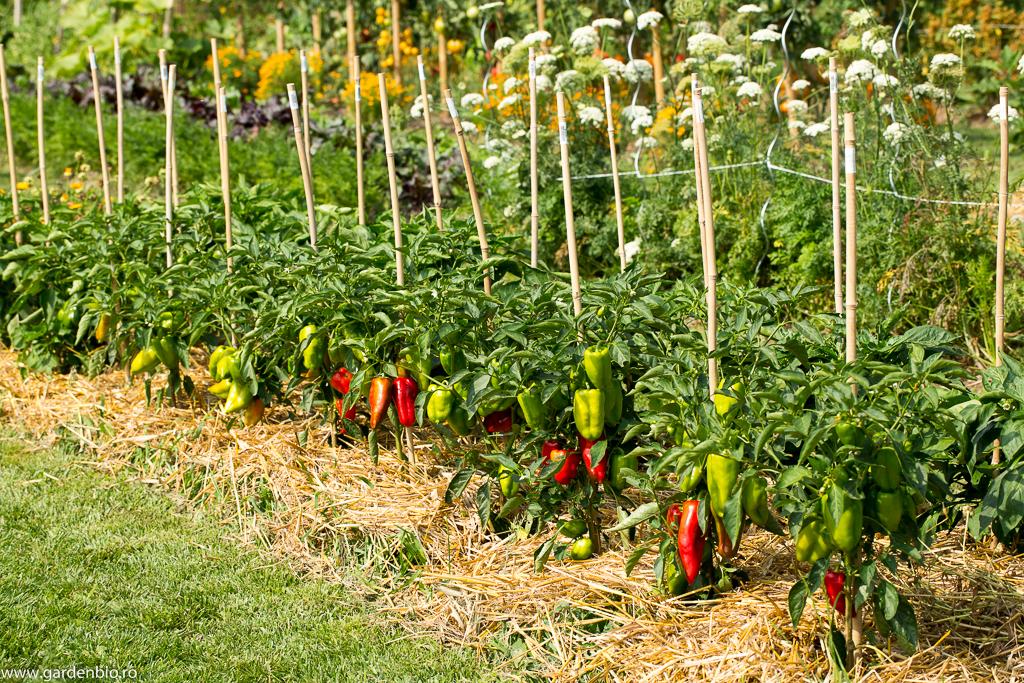 Grădina de la țară în 2016 - straturi de ardei mulcite cu paie