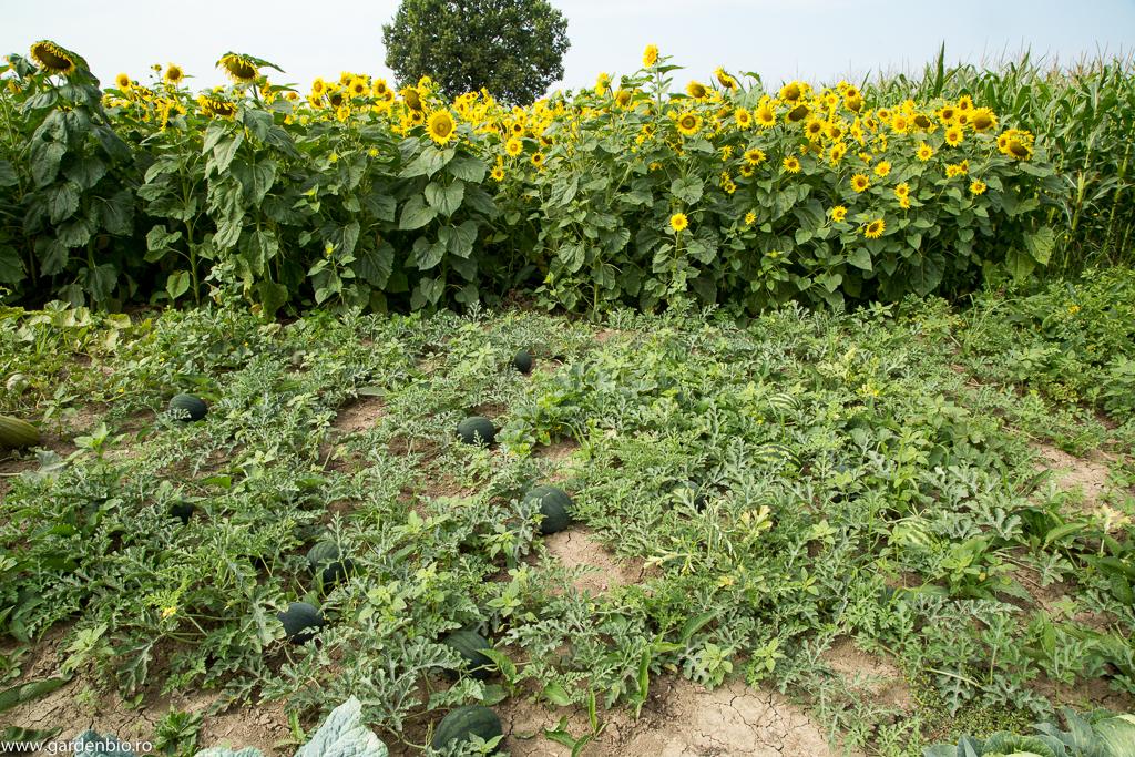Prima recoltă de pepeni roșii - am testat mai multe varietăți care se pretează pt. cultivare în nordul țării