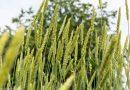 Soiuri ancestrale de grâu