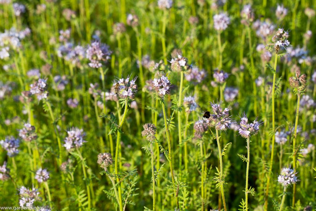 Florile de facelia atrag ca un magnet albine, bondari, fluturi