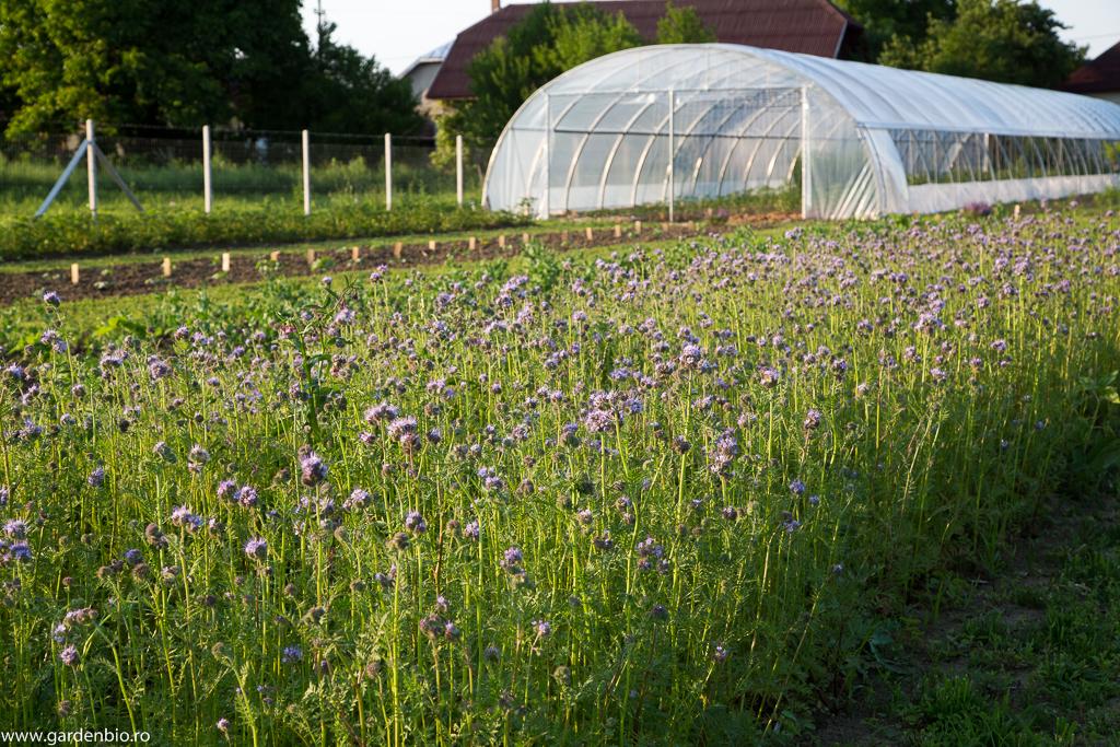 Cultură de facelia, plantă meliferă și îngrășământ verde