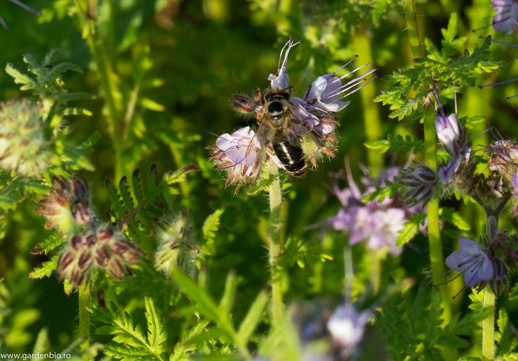 Pe lângă apis mellifera, o varietate mare de albine cercetează florile de facelia
