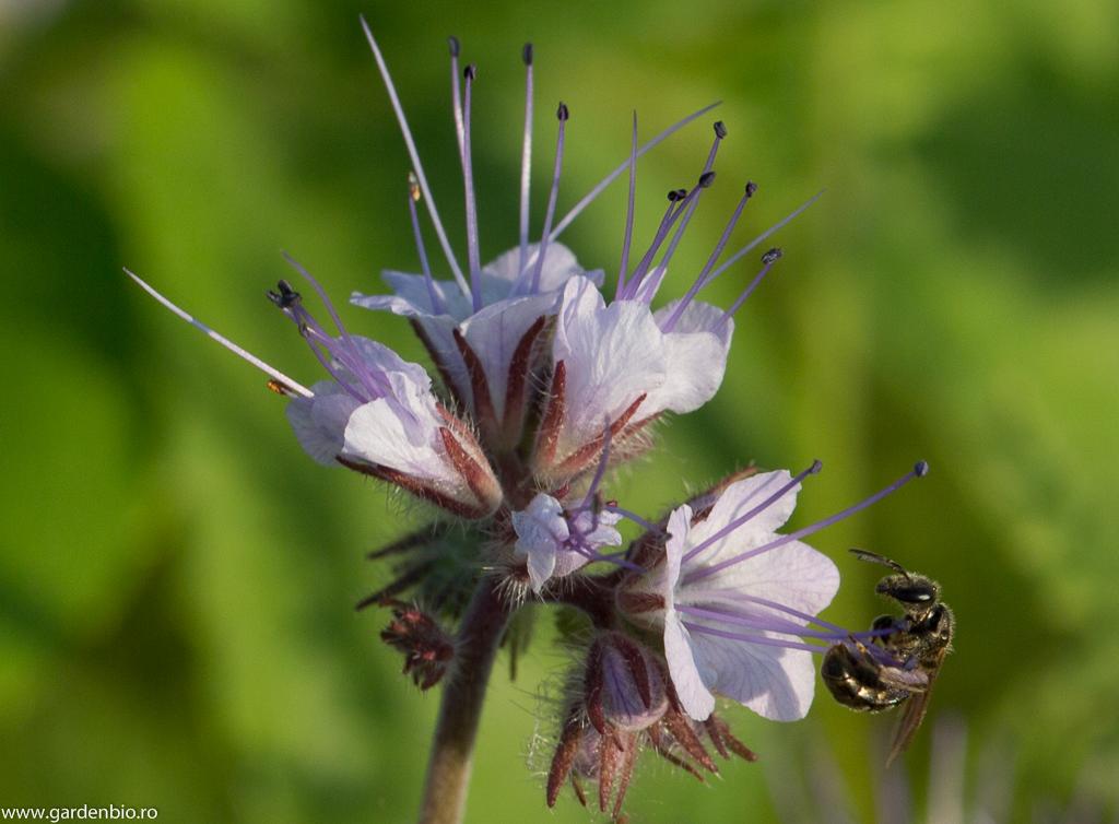 Albinele sunt atrase de polenul şi nectarul florilor de facelia