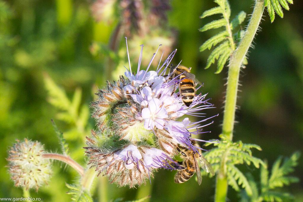 Albinele cercetează intens florile de facelia