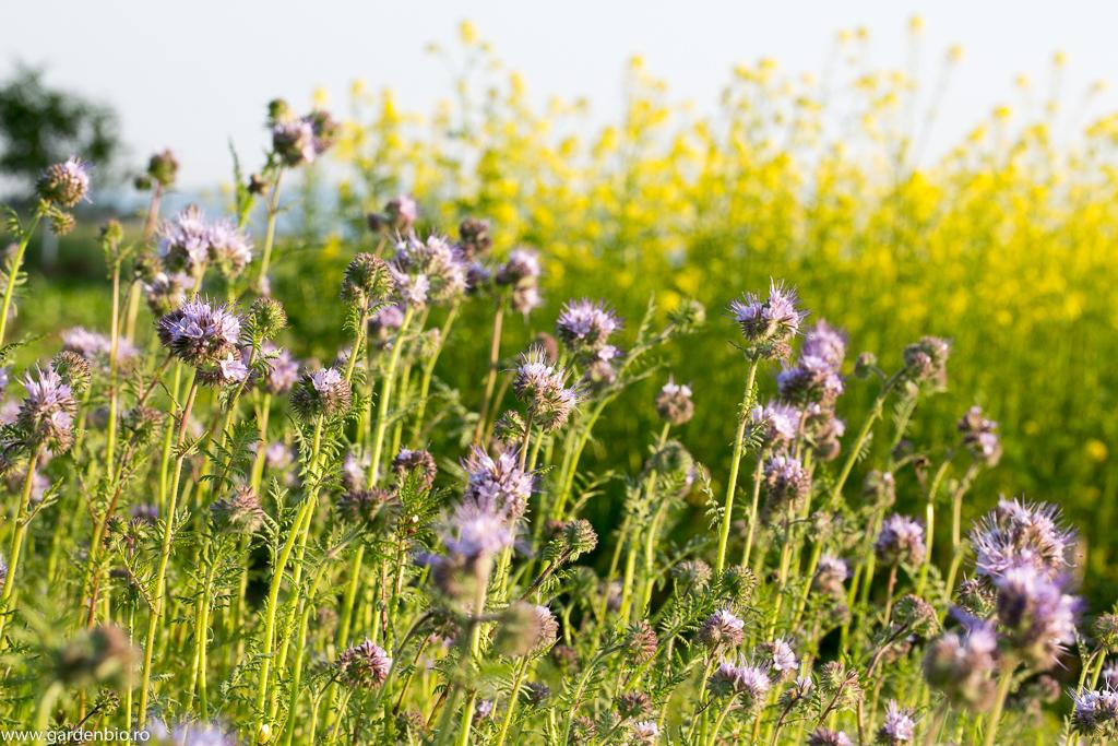 Flori mov de facelia