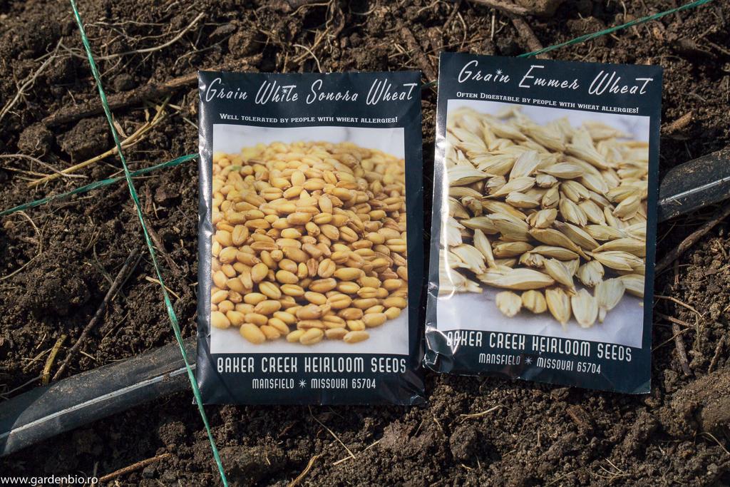 Plicuri cu seminţe heirloom, grâu White Sonora şi Emmer