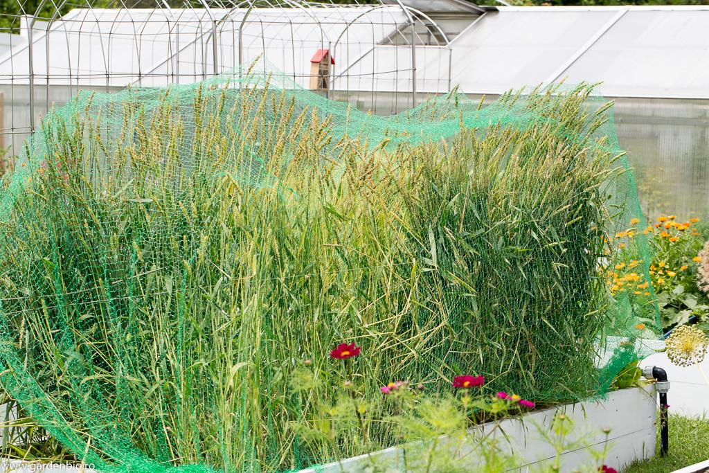Stratul cu grâu White Sonora protejat cu plasă pentru păsări