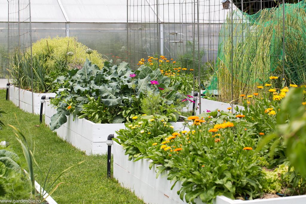 Straturi cu conopidă şi brocoli, salată pt. seminţe, cosmos, gălbenele