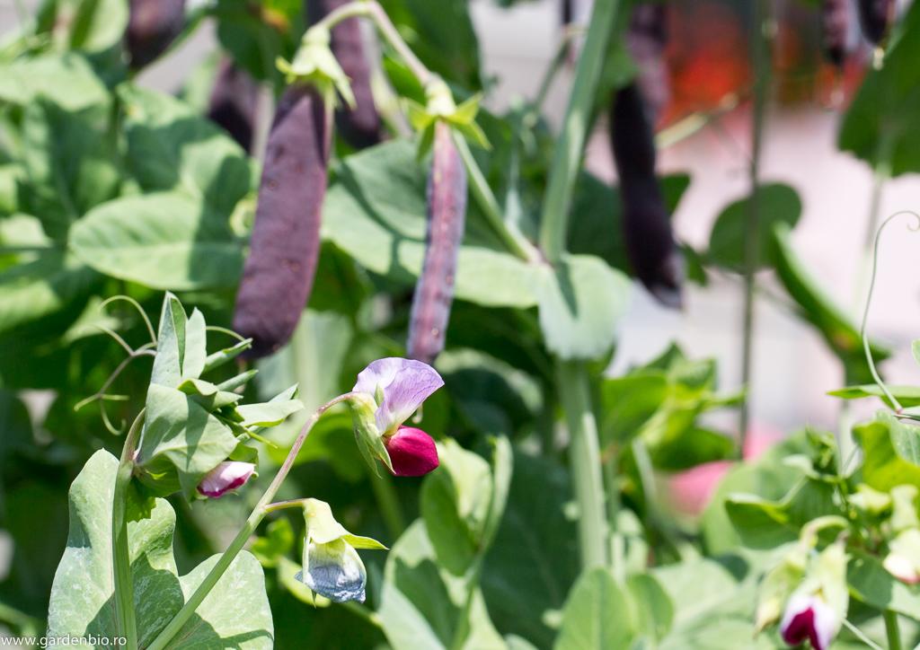 Flori superbe de mazăre mov Blauwschokkers