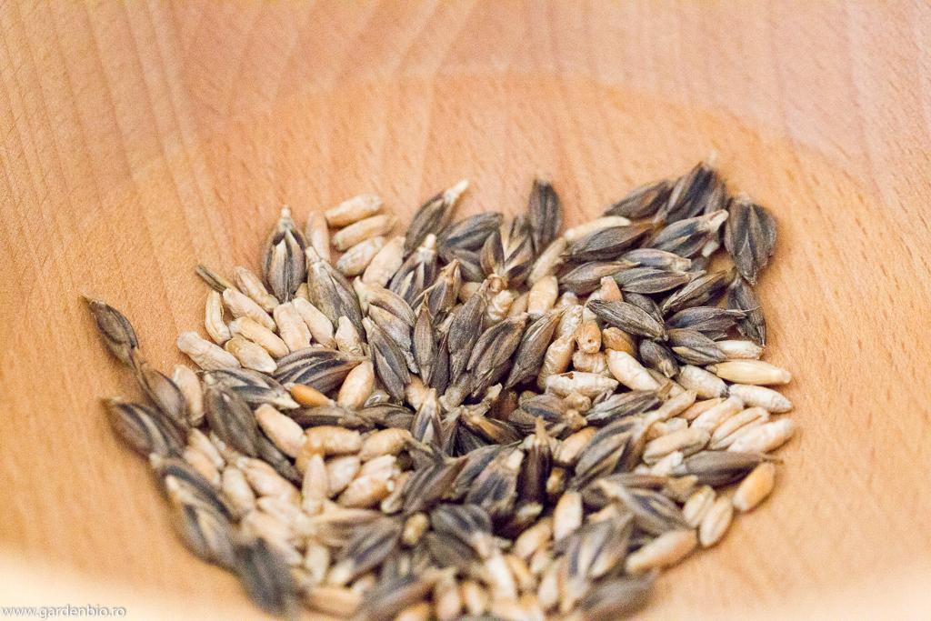 Boabele de grâu ancestral la măcinare