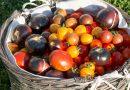 Soiuri de roșii cultivate în acest sezon