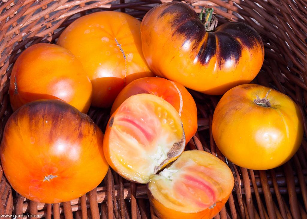 Tomate Lucid Gem