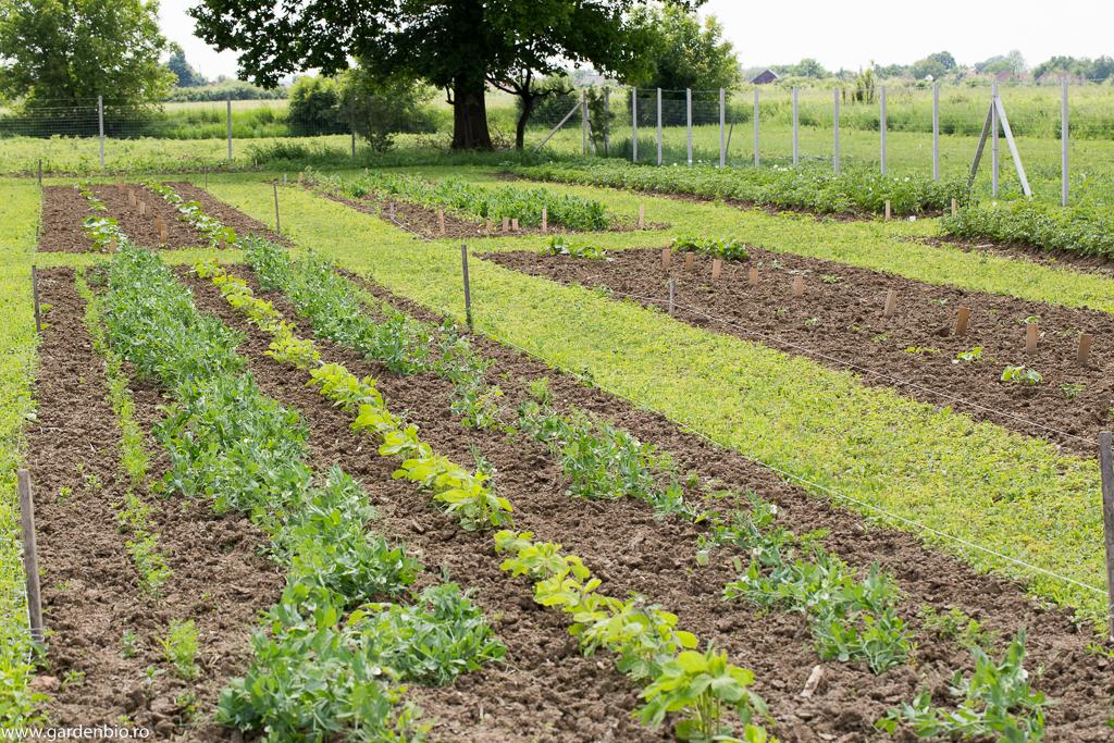 Mazăre, soia și morcovi