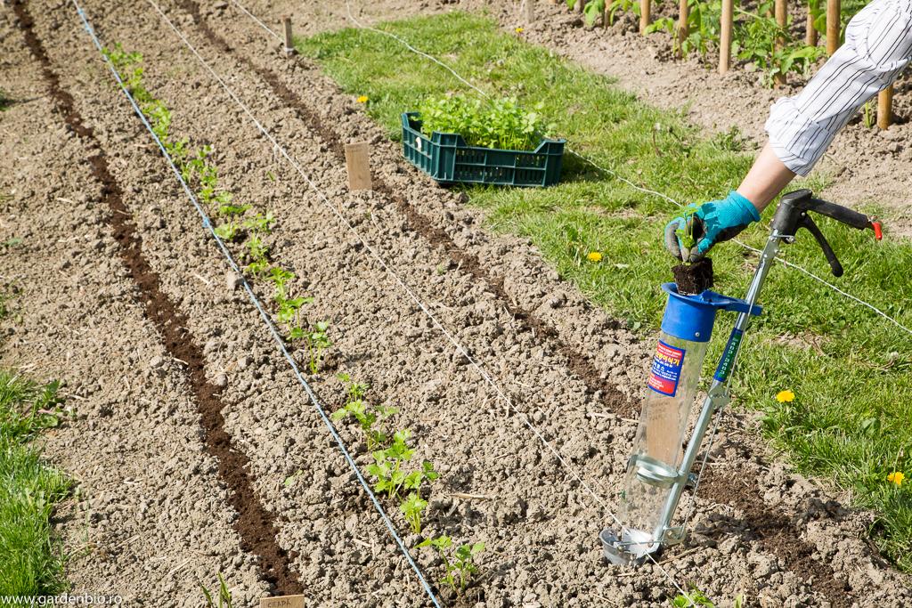 Plantarea primelor răsaduri de țelină cu plantator de răsaduri