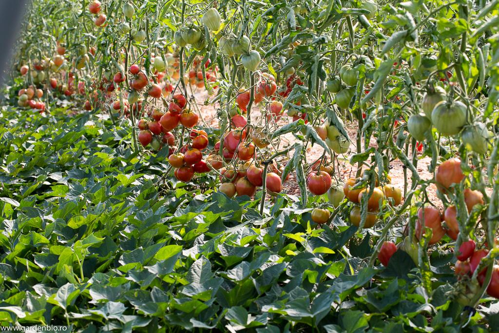 Roșii Inimă de Bou și cartofi dulci Bonita, Murasaki și Burgundy
