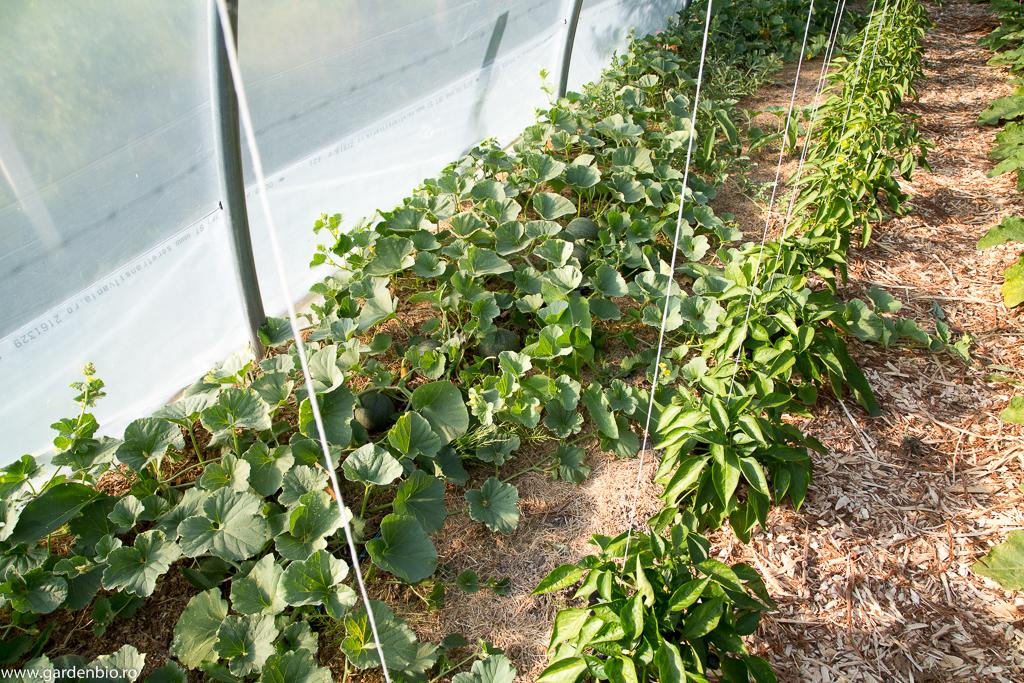 Pepeni galbeni, diferite varietăți, cultivați în solar