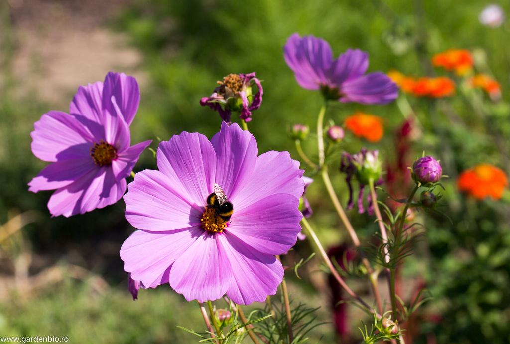 Cosmos (Cosmos bipinnatus) atrage bondari, albine, fluturi