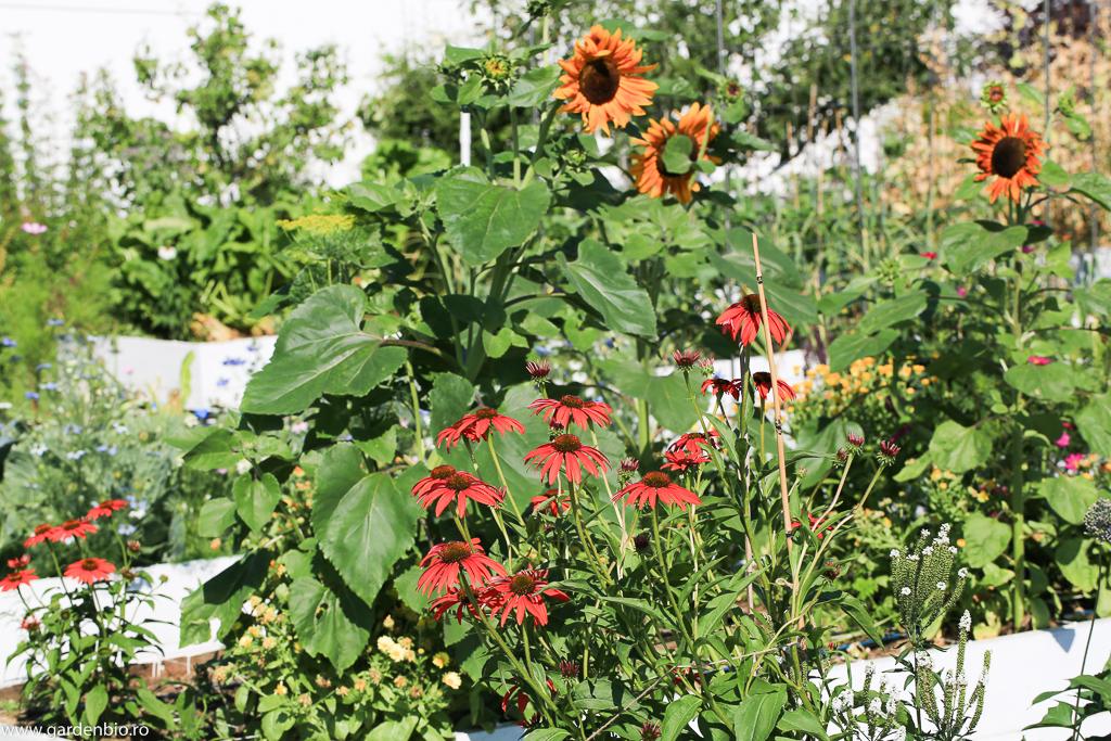 Echinaceea (cheyenne spirit), floarea soarelui, în straturile cu legume