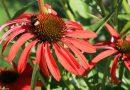 Flori ce atrag polenizatorii în grădină