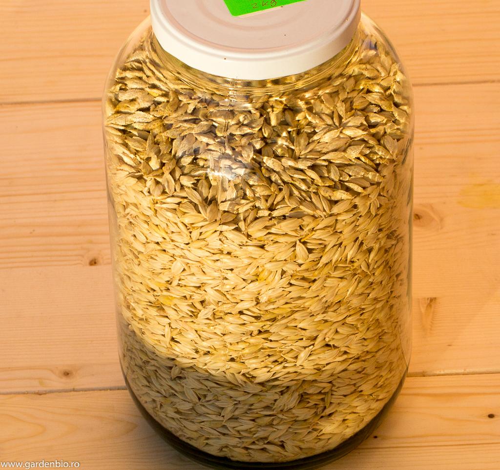 Am obţinut 2 kg de grâu Emmer dintr-un pliculeţ de seminţe !