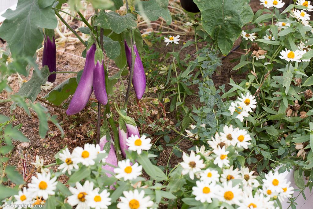 Zinnia atrag albine, bondari care vor cerceta şi florile de vinete, ajutând astfel la o recoltă mai bogată
