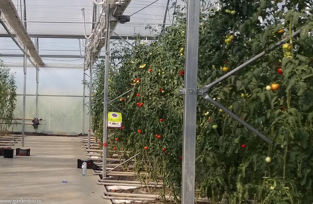 Polenizare cu bondari într-o fermă ecologică de roşii, hibrizi