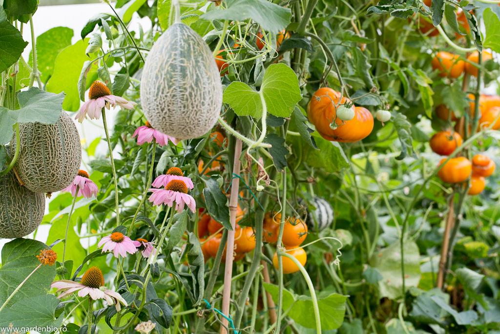 Prezența florilor ce atrag polenizatorii, în cazul de față echinaceea, atrage albine, bondari, care vor poleniza și pepenii, roșiile