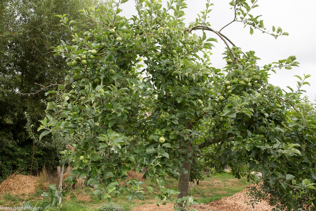 Un exemplu foarte reprezentativ - pomi fructiferi roditori, foarte sănătoşi, fără tratamentele chimice aplicate în culturile convenţionale