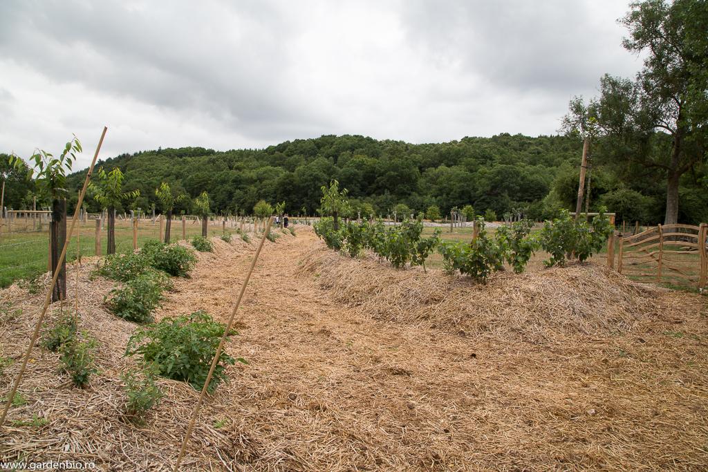 Grădina nouă, alee mulcită integral cu paie, cu straturi înălţate populate cu pomi şi arbuşti fructiferi, legume. Probabil aceste straturi sunt hugelkultur.
