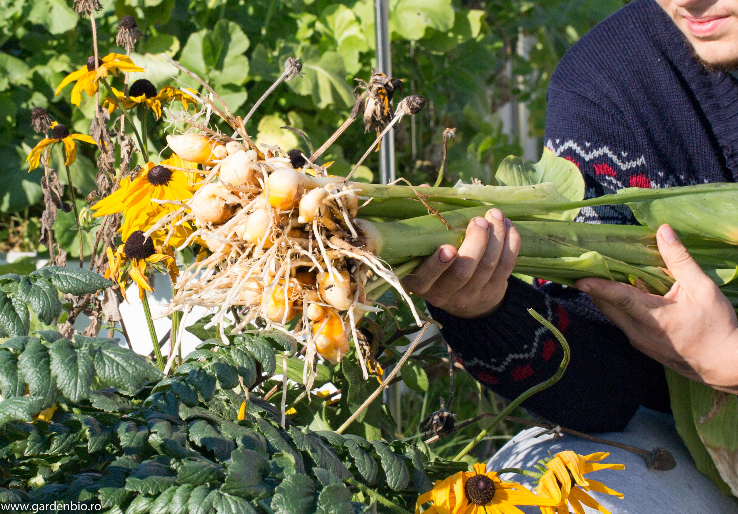 Prima recoltă de turmeric
