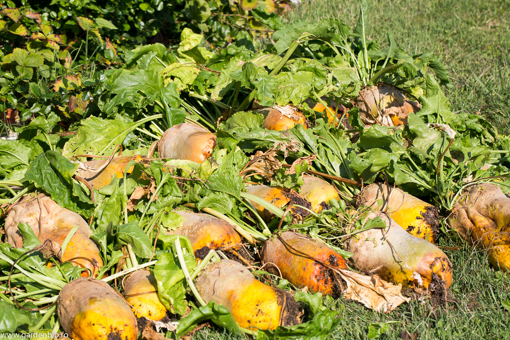 Peste 40 de kg de sfeclă Eckendorf dintr-un de 3,6 mp cultivat biointensiv.