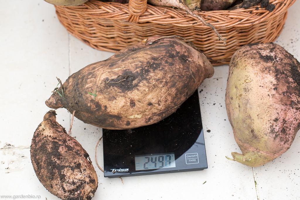 Un nou record la cartofi dulci. Cel de anul trecut de 1,8 kg a fost doborât de acest exemplar de aproape 2,5 kg !