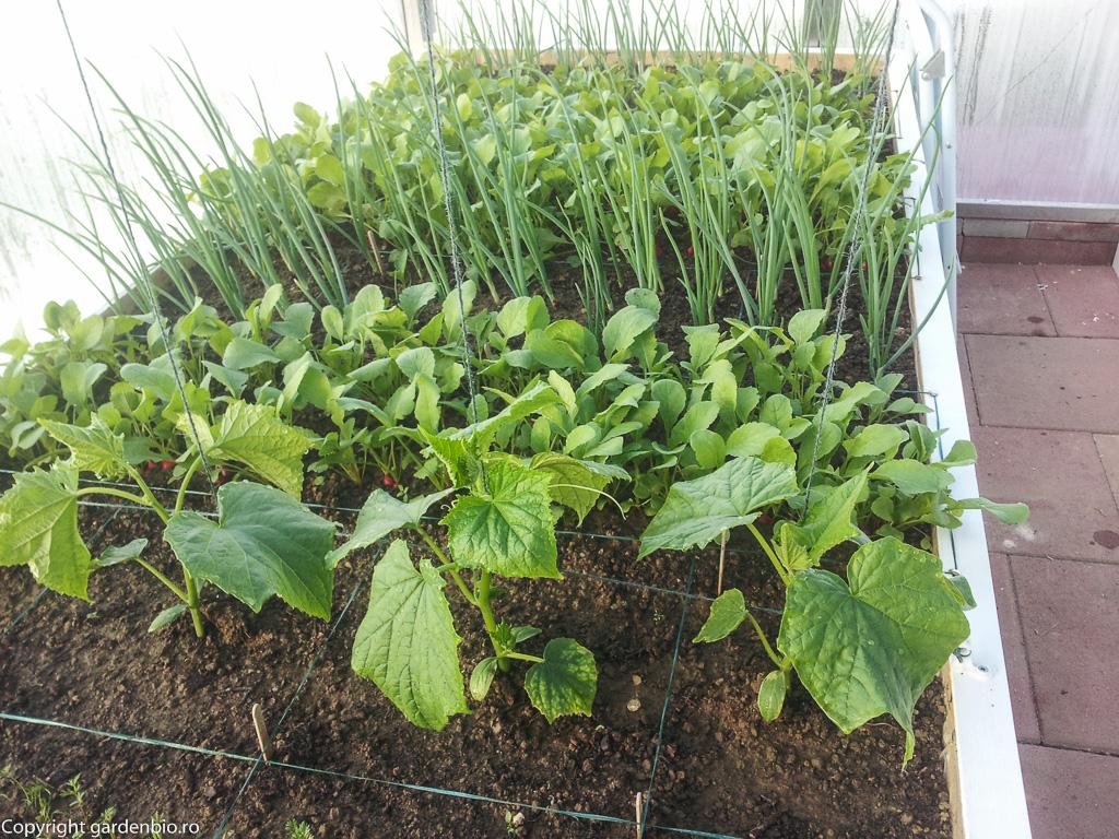 Castravetii din sera - plantati in luna martie