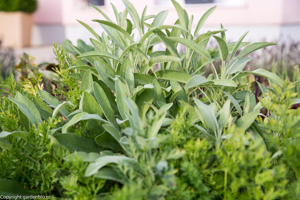Salvia bun companion pentru morcovi