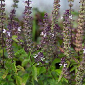 Seminţe aromatice