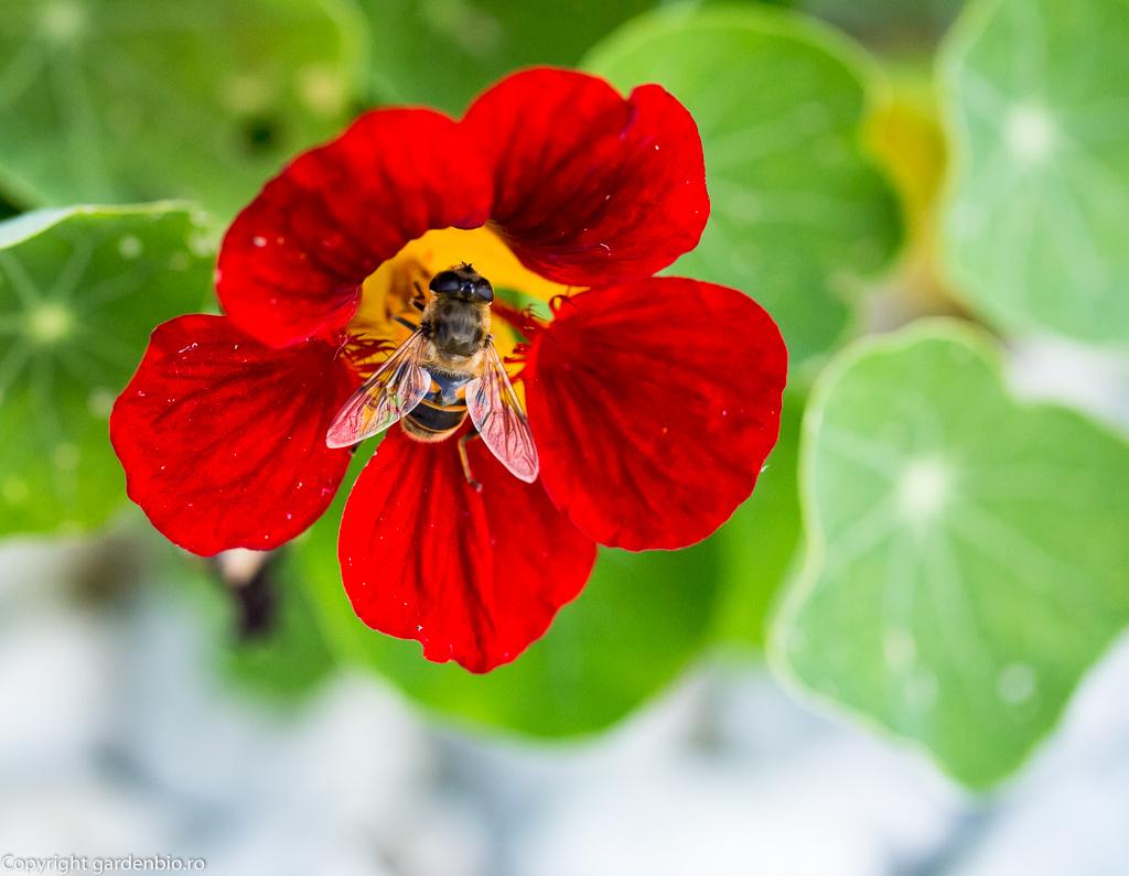 Nasturtium sau condurul doamnei - plantă capcană, ispită pentru multe insecte, inclusiv pentru furnici