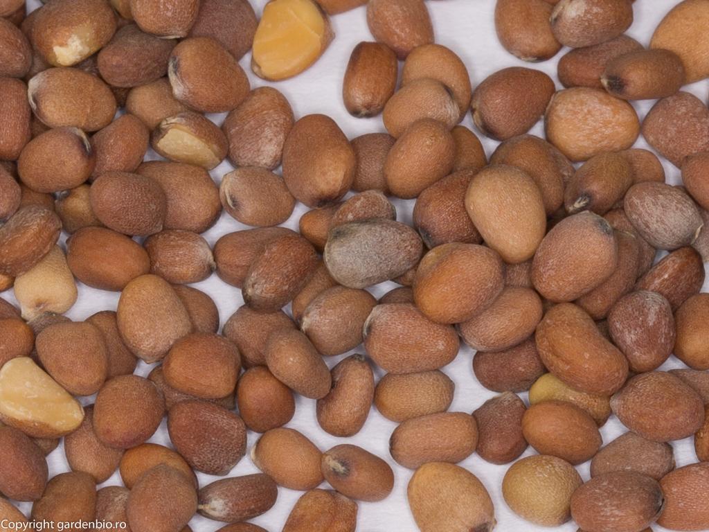 Recoltă de semințe de ridichi French Breakfast