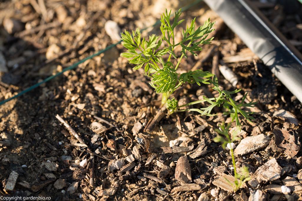 Dupa cartofi si imbogatirea solului cu compost, am semanat morcovi