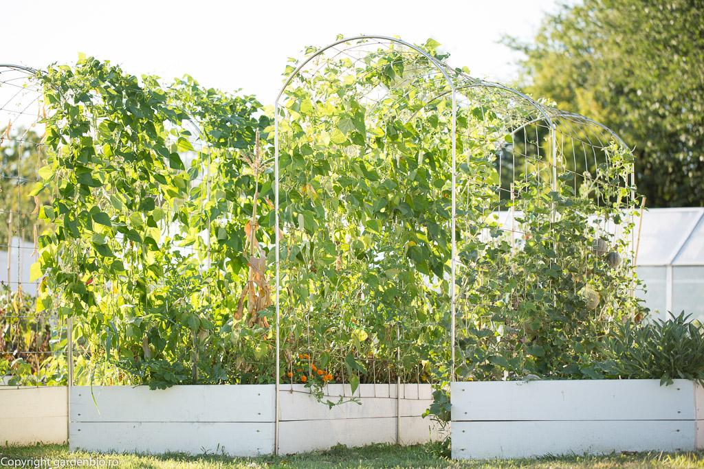 Dupa fasole, solul va fi bogat in azot, iar la anul voi semana plante cu necesar ridicat de azot - varza, gulii..