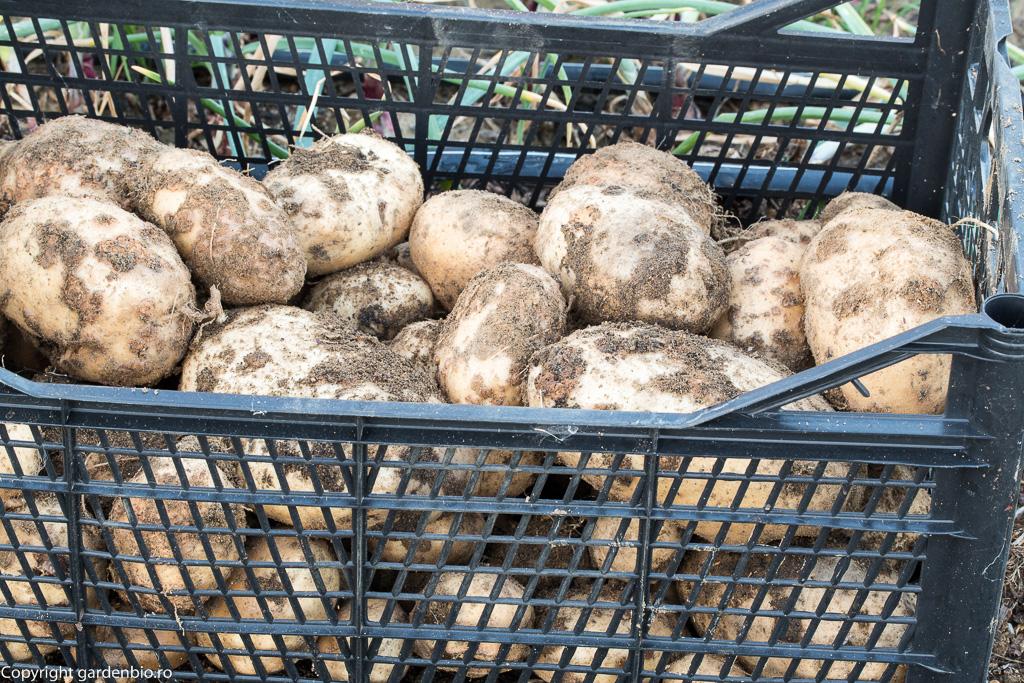 Cartofi Maria Bard