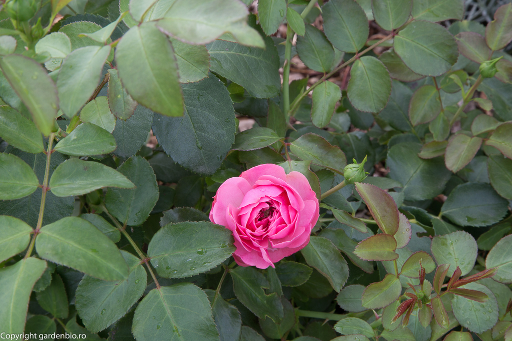 Trandafir atestat ADR - frunze sanatoase rezistente la boli si daunatori