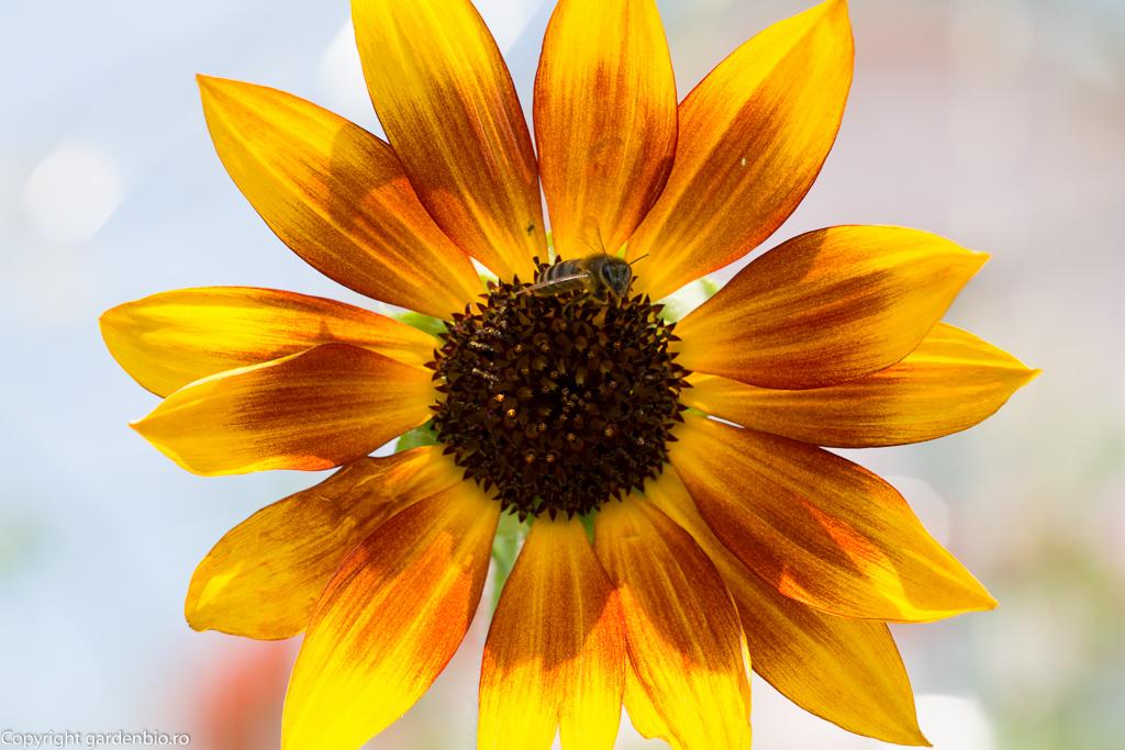 Albina si floarea soarelui